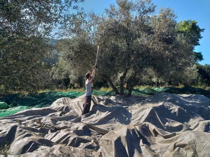 Olive picking Destinations Tours in Greece Peloponnese Epos Travel Tours